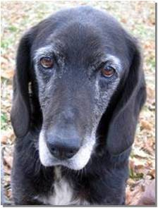 Ebony a 12-year old Labrador Retriever