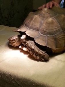 This tortoise is one of our slower patients!