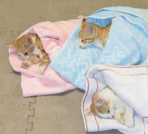 Young cats recovering after being spayed.